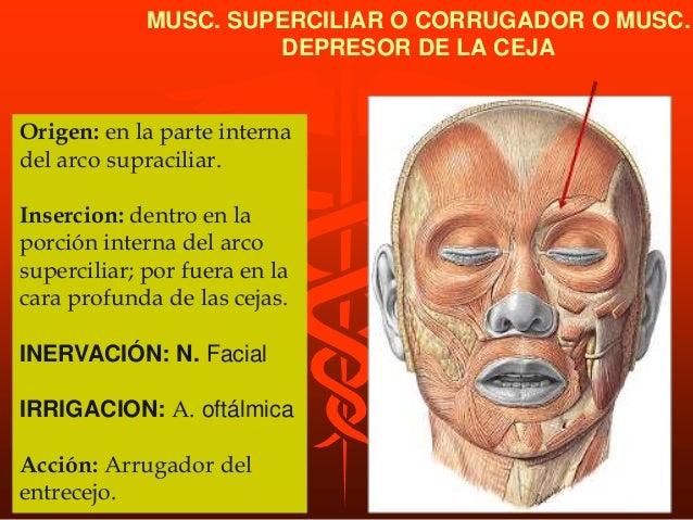 M. buccinador. ORIGEN: En el borde anterior del ligamento pterigomaxilar y en borde alveolar de los maxilares superior e i...