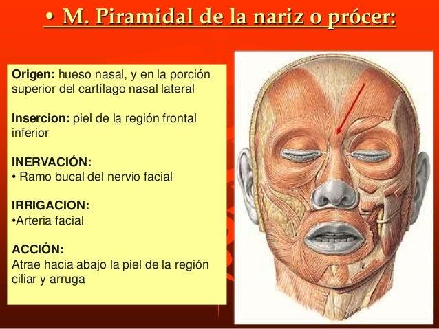 M. borla del mentón o m. mental o M. mentoniano: ORIGEN. En la fosita del maxilar inferior situada a cada lado de la sínfi...