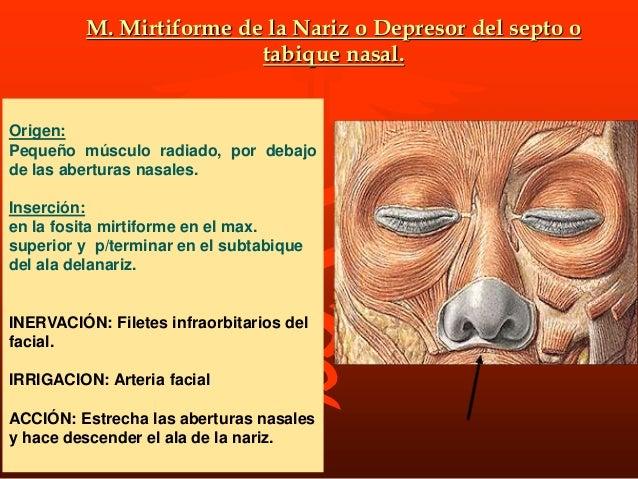 M. risorio: DE SANTORINI Origen: Es un músculo triangular situado a cada lado de la cara. Inserción: por delante en la com...