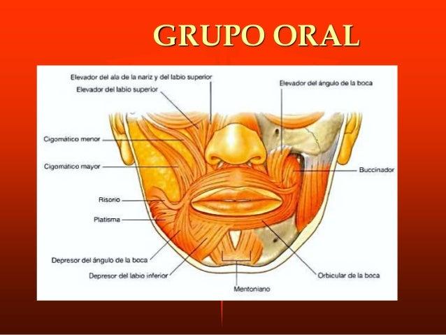M. cigomático menor. ORIGEN: Músc. alargado que extiende desde cara externa del hueso malar INSERCIÓN: se inserta en el fa...