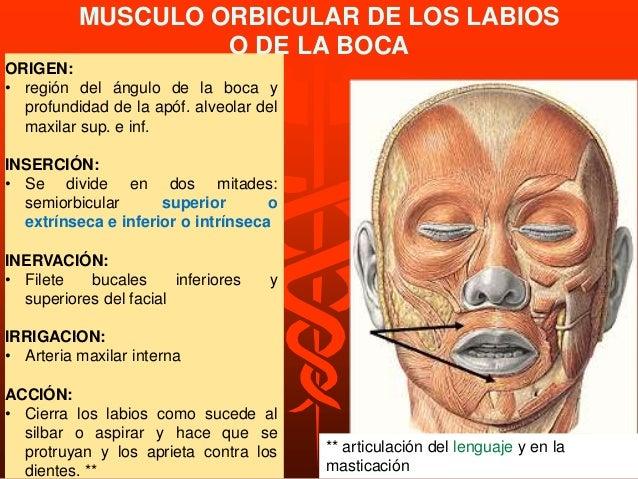 M. cigomático mayor ORIGEN: Músculo que va desde el hueso malar a la comisura, por fuera del cigomático menor. INSERCIÓN: ...