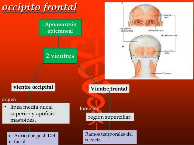occipito frontal 2 vientres Aponeurosis epicraneal Vientre frontal region superciliar. vientre occipital • linea media nuc...