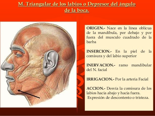 GRUPO AURICULAR Son todos dilatadores del conducto auditivo externo y orientadores del pabellón auricular. -Extrinsecos.