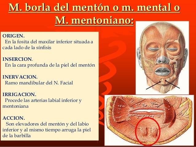 M. AURICULAR ANTERIOR ORIGEN En el borde externo de la aponeurosis temporal por delante y arriba de la oreja INSERCION En ...
