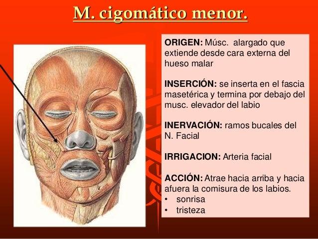 NERVACION DE LOS AURICULARES Por ramas temporales del Facial IRRIGACION DE LOS AURICULARES Por ramas de las arterias auric...
