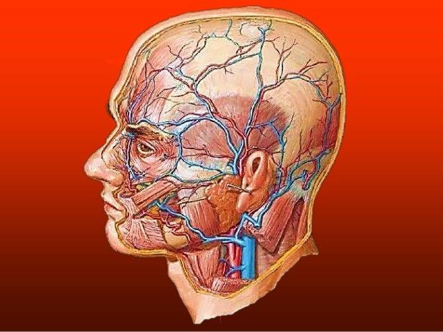 Musculos de la cara - anatomia humana
