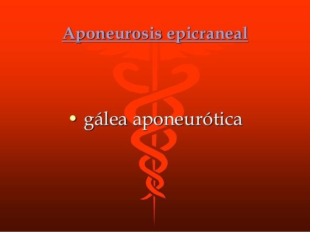 Aponeurosis epicraneal • gálea aponeurótica