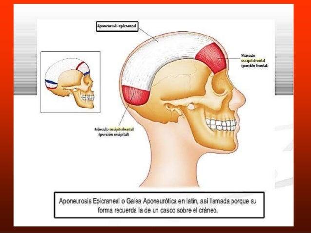 occipito frontal