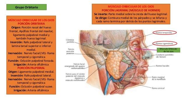 Musculos de la expresion facial Slide 3