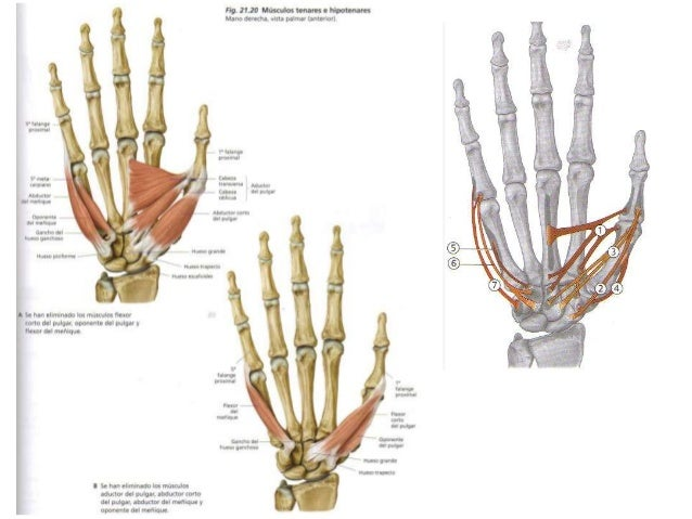 Musculos de la mano.