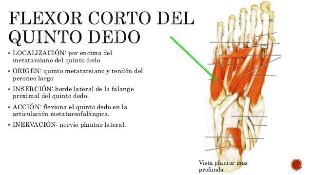 Músculos de la mano y el pie.