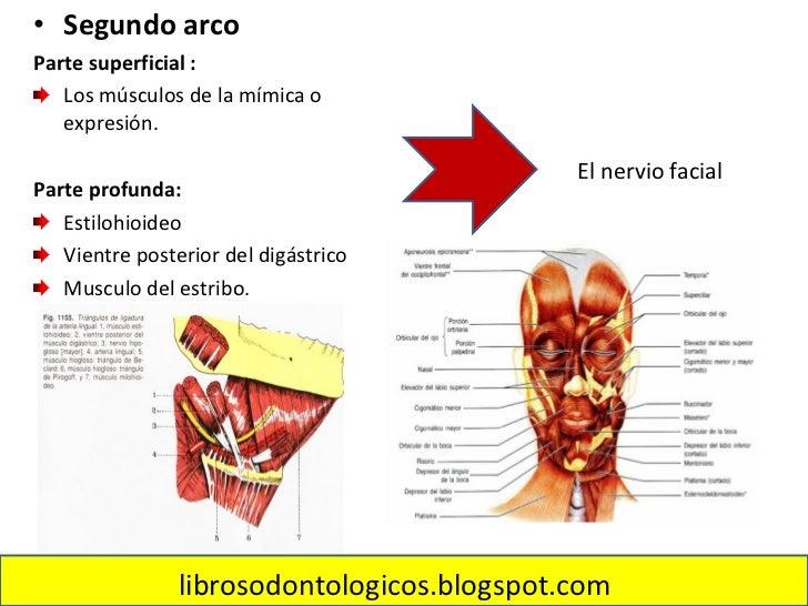 Musculos De La Mimica (http://librosodontologicos.blogspot.com/) Slide 3