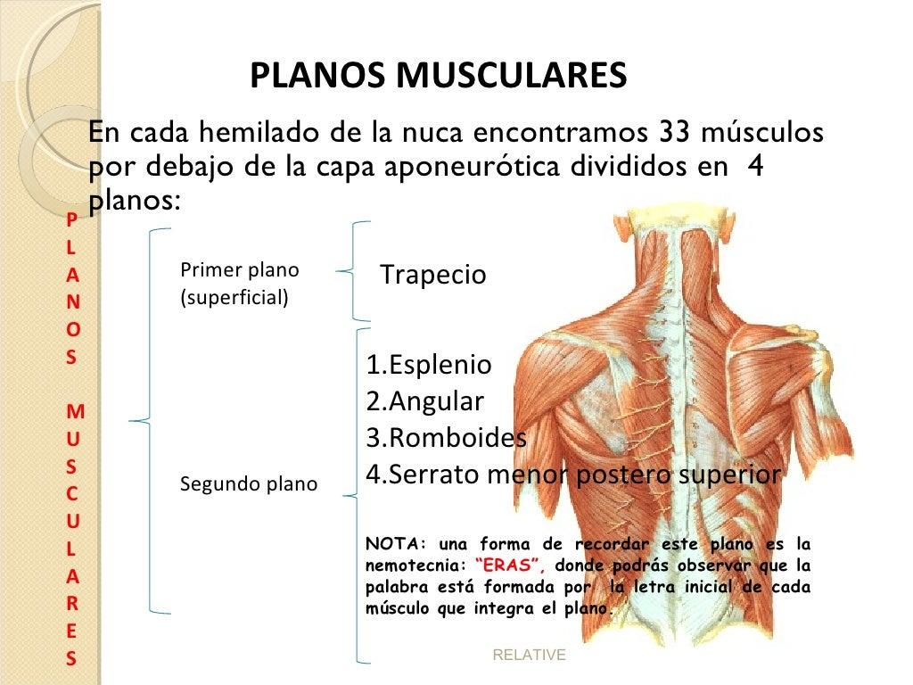 Perfecto Músculos De La Espalda Y El Cuello Friso - Imágenes de ...