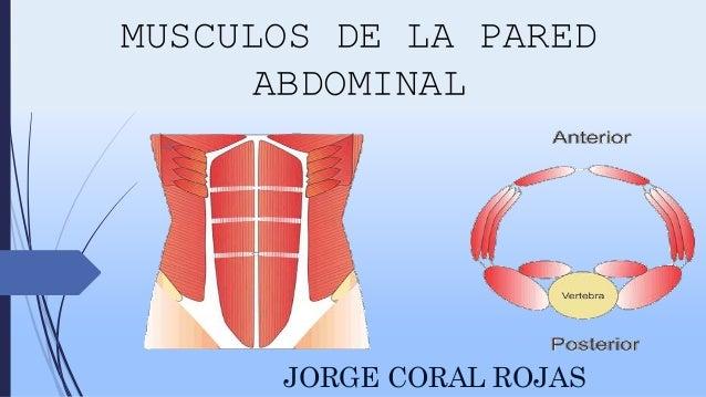 Musculos de la pared abdominal anatomia