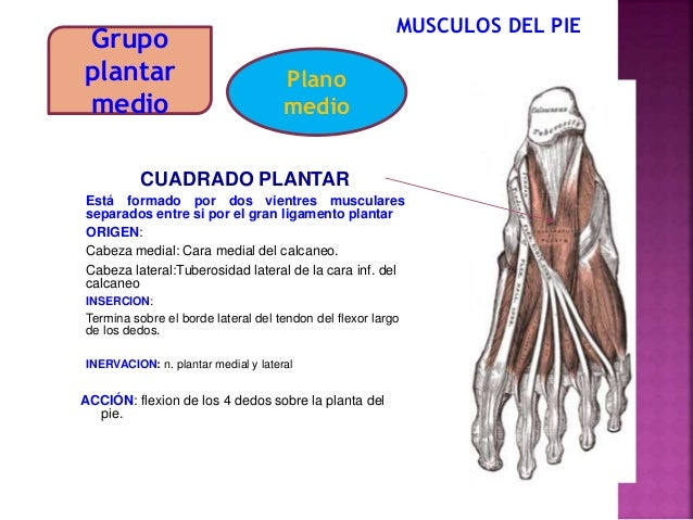 Musculos de la pierna y el pie- para estudiantes de medicina