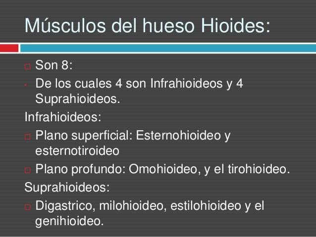 Musculos de la region cervical posterior for Esternohioideo y esternotiroideo