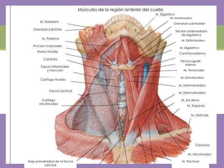 Bonito Músculos Cervicales Bandera - Anatomía de Las Imágenesdel ...