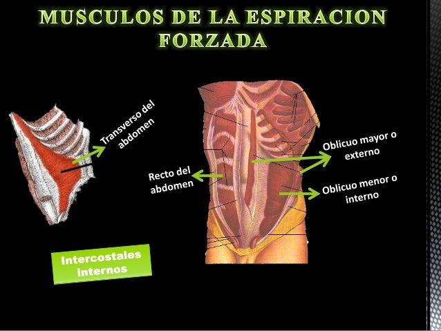 Musculos que participan en la respiracion
