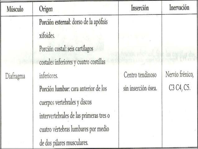 MÚSCULOS FACILITADORES DE LA FASE INSPIRATORIA  Los conductos ubicados por fuera de la caja torácica (extratoracicos) se ...