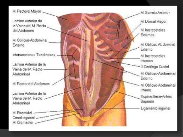 Músculos de la respiración  El ciclo esta conformado por 2 fases: 1.inspiratoria. 2.espiratoria.  En las que intervienen...