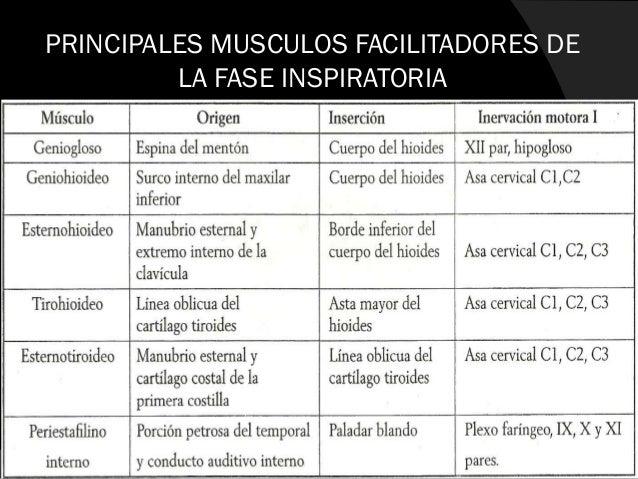 MUSCULOS ACCESORIOS DE LA FASE INSPIRATORIA  Pectoral mayor: 1 • Es un gran musculo en forma de abanico • Interviene en l...