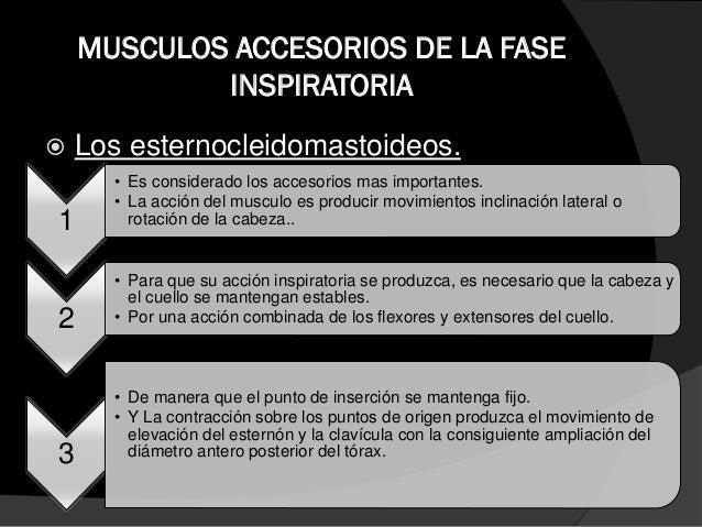 MUSCULOS ACCESORIOS DE LA FASE INSPIRATORIA  Pectoral menor:  es un musculo con origen en la caja torácica e inserción e...