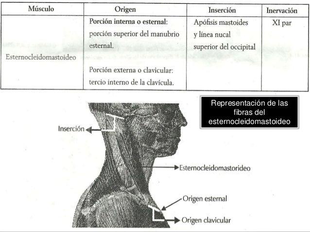 MUSCULOS ACCESORIOS DE LA FASE INSPIRATORIA  Trapecios y serratos:  Musculos accesorios de segunda fase.  Durante la fa...