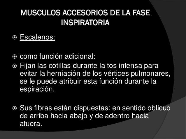 MUSCULOS ACCESORIOS DE LA FASE INSPIRATORIA  Así x ej:  El trapecio superior extiende y fija la columna cervical para fa...