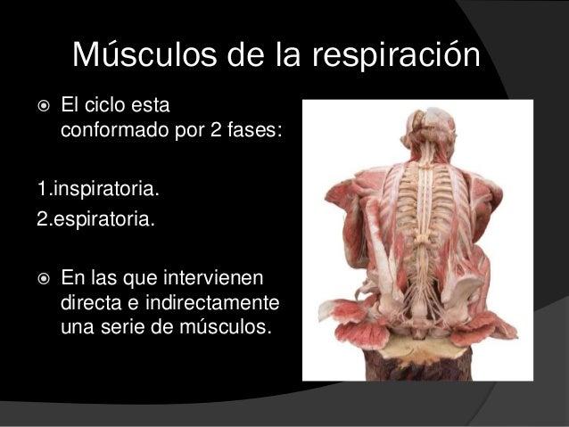 Que se clasifican:  1. músculos productores de la fase: que son aquellos que directamente generan el movimiento durante l...