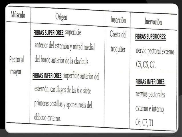 MÚSCULOS FACILITADORES DE LA FASE ESPIRATORIA  Son los intercostales internos, los cuales fijan y estabilizan la caja tor...