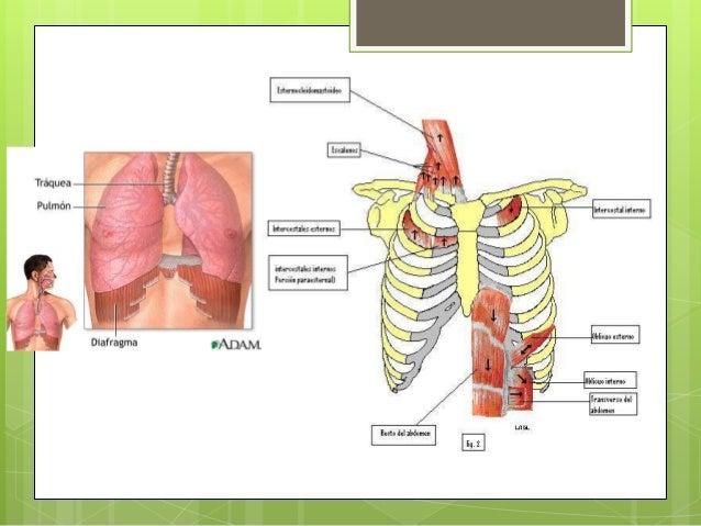 Musculos de la respiracion y presiones