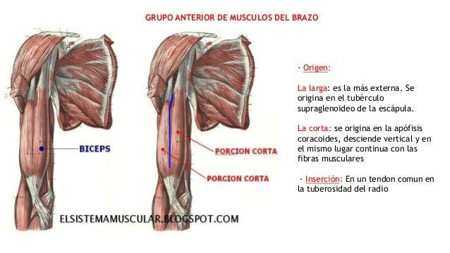 Músculos del brazo y antebrazo