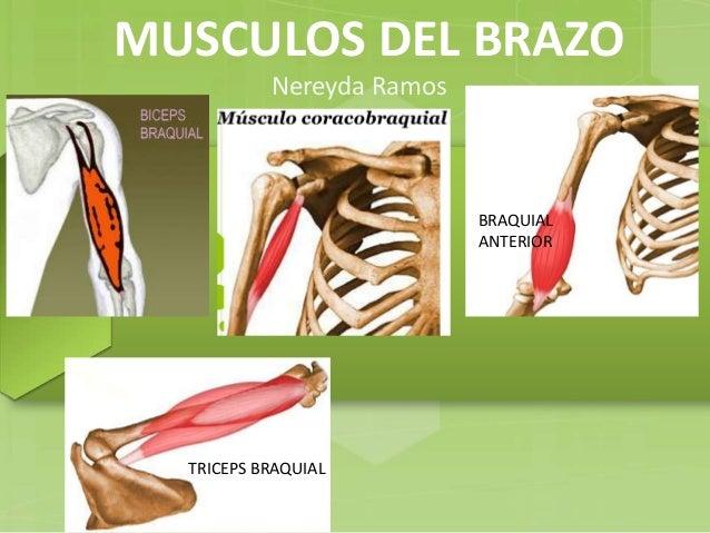 musculos-del-brazo-1-638.jpg?cb=1473293601