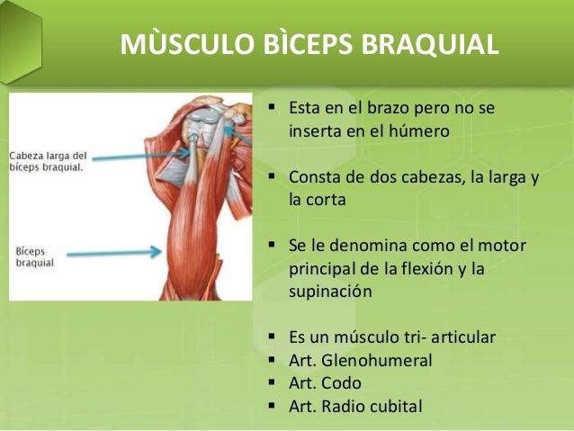 Musculos del brazo