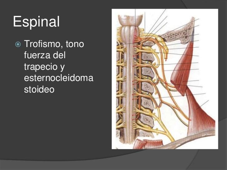 Triángulo posterior<br />Nervio accesorio<br />Plexo cervical<br />Plexo braquial<br />
