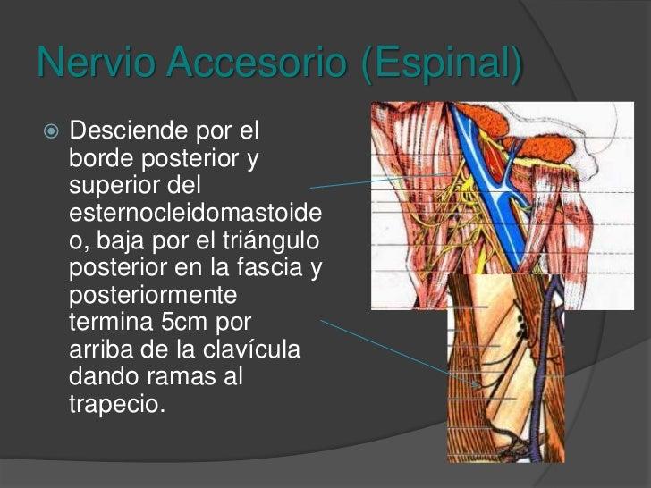 Trofismo, tono fuerza del trapecio y esternocleidomastoideo<br />Espinal<br />