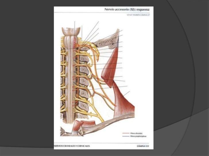 Nervio Accesorio (Espinal)<br />Desciende por el borde posterior y superior del esternocleidomastoideo, baja por el triáng...