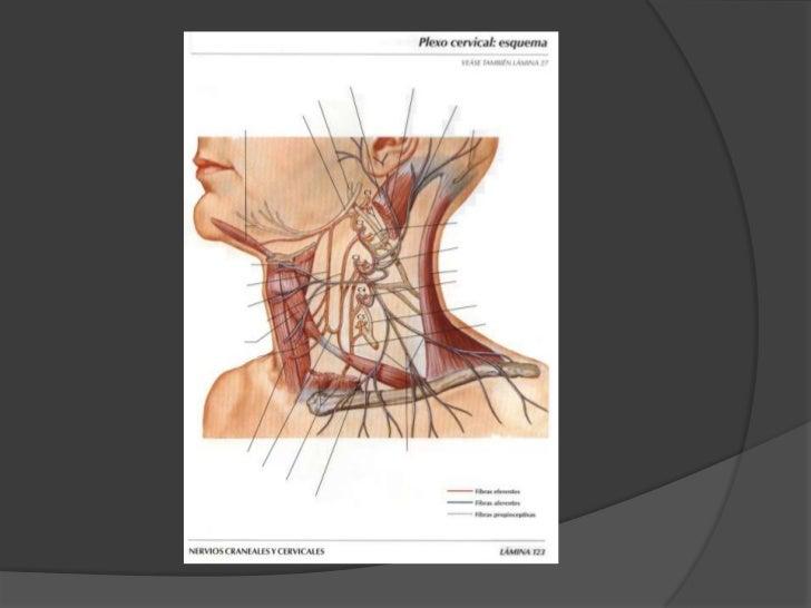 Plexo cervical<br />