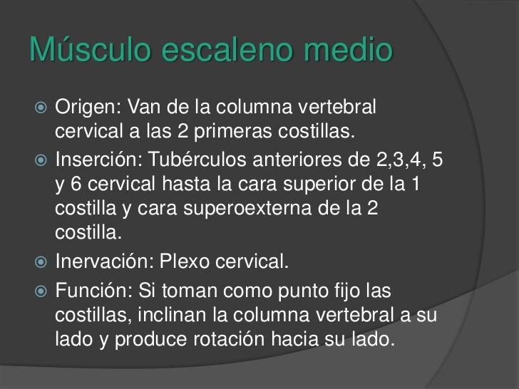 Músculo escaleno medio<br />Origen: Van de la columna vertebral cervical a las 2 primeras costillas.<br />Inserción: Tubér...