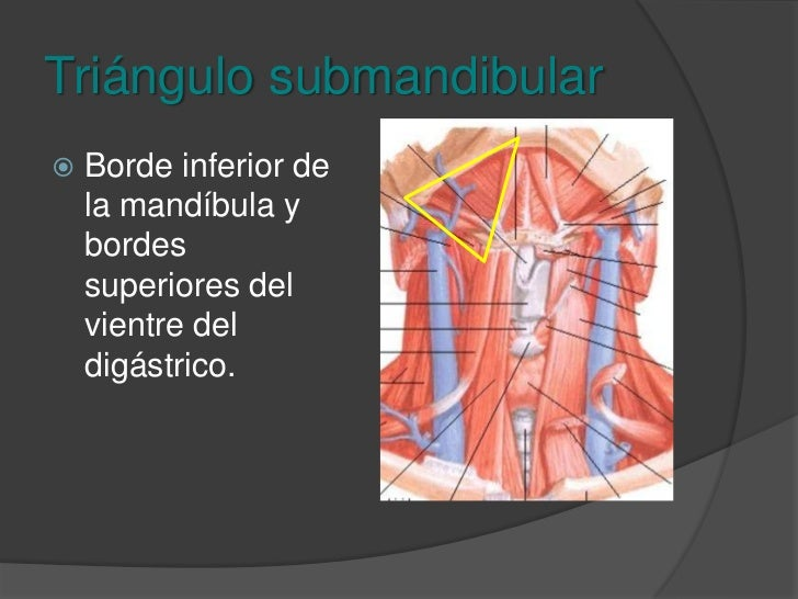 Triángulo anterior<br />Triángulo submandibular<br />Triángulo submentoniano<br />Triángulo carotideo<br />Triángulo muscu...