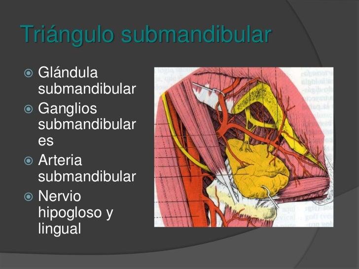 Triángulo submandibular<br />Borde inferior de la mandíbula y bordes superiores del vientre del digástrico.<br />