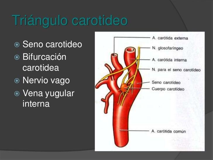 Triángulo carotideo<br />Limitado por el esternoclediomastoideo atrás, digastrico arriba y omohioideo adelante<br />
