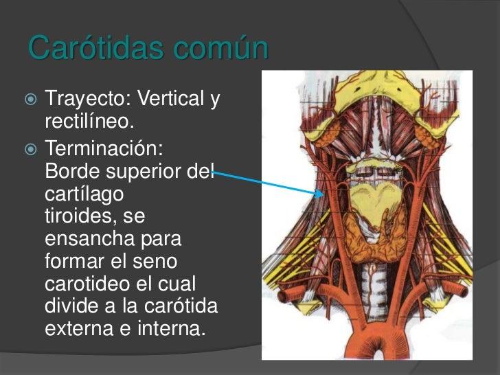 Carótidas común<br />Origen: <br />Izquierda nace 5mm por detrás y a la izquierda del tronco braquicefálico en el arco aór...