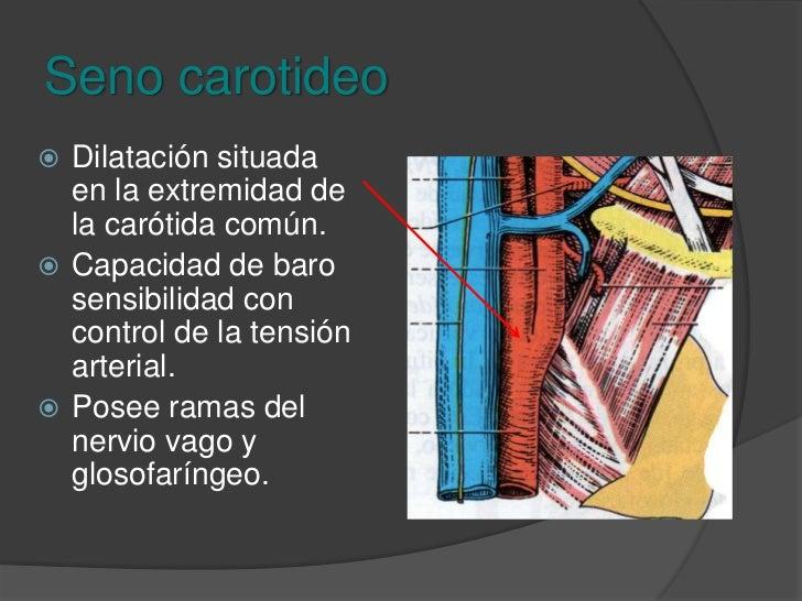 Carótidas común<br />Trayecto: Vertical y rectilíneo.<br />Terminación: Borde superior del cartílago tiroides, se ensancha...