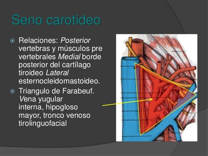 Seno carotideo<br />Dilatación situada en la extremidad de la carótida común.<br />Capacidad de baro sensibilidad con cont...