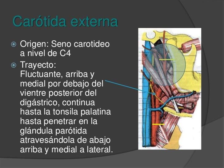 Carótida externa<br />