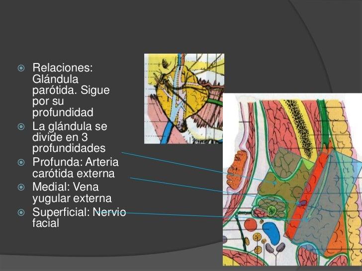 Carótida externa<br />Relaciones: Diafragma estíleo. Pasa por el vientre posterior del digastrico y medial del estilogloso...