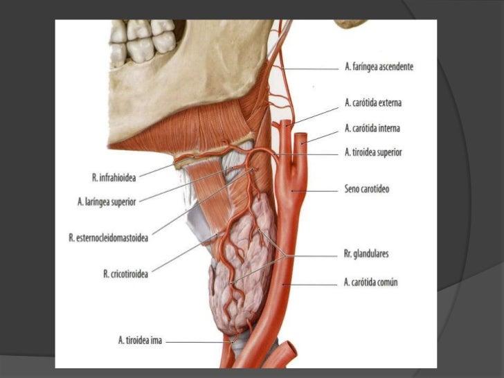 Relaciones: Glándula parótida. Sigue por su profundidad <br />La glándula se divide en 3 profundidades<br />Profunda: Arte...