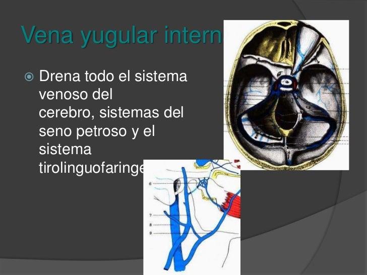 Vena yugular interna<br />