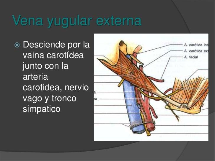 Seno petroso inferior<br />Drena el sistema venoso de los senos de la duramadre y se junta a nivel del espacio retroestile...
